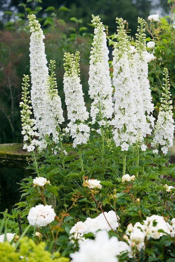 A Vignette Of White Delphinium Stalks Peonies And Roses In The Sissinghurst Style Garden Behind Farmhouse On This Property