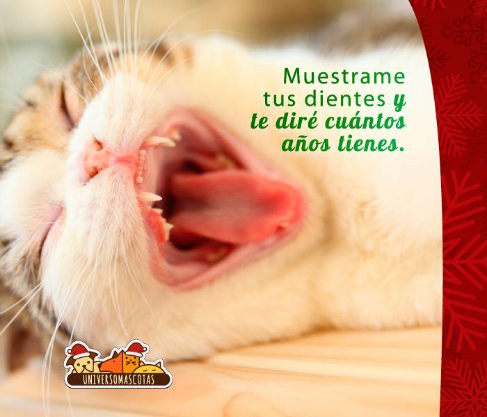 La fórmula más acertada para calcular la edad de los gatos se encuentra en sus dientes. Más consejos en: http://www.universomascotas.co/bienestar/gatos/como-calcular-la-edad-de-mi-gato