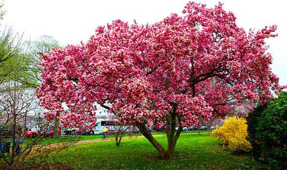 Magnolia trees are one of the most attractive spring-flowering trees you can grow