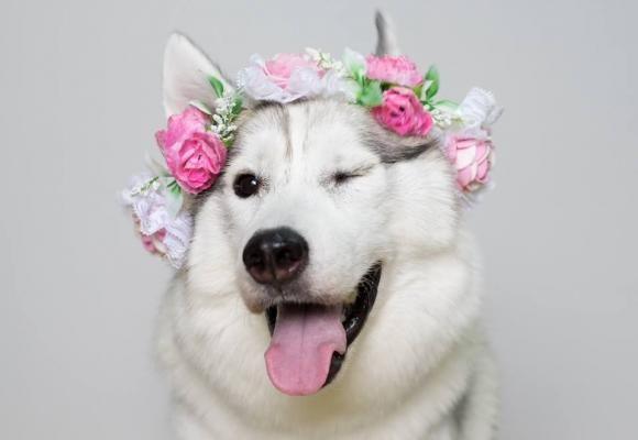 Las felices carreras de Maya, una Husky adoptada que nació sin patas   SrPerro.com, la guía para animales urbanos.