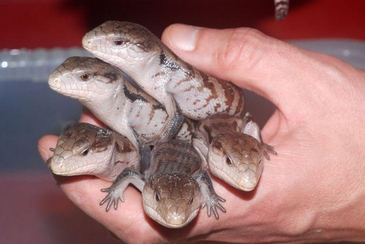 crocodile-skink-care