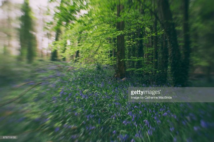 Magical bluebell filled forests in the centre of Ireland.