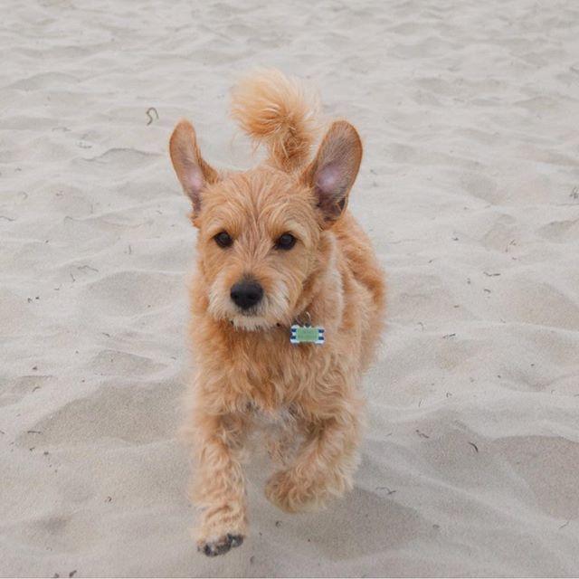 【terrytheterrier01】さんのInstagramをピンしています。 《Did you say treats?🍖 🐾 おやつって言った? 🐾 🐾 #runningdog #beach #beachdog #mutt #dogbeach #bestwoof #scruffysquad #rescuedog #terrier #terriermix #sandiegodog #muttsofinstagram #元保護犬 #ミックス犬 #わんこ #テリアミックス #ビーチ #海 #テリア #instadog #thestatelyhound》