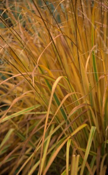 Rohr-Pfeifengras (Molinia arundinacea)