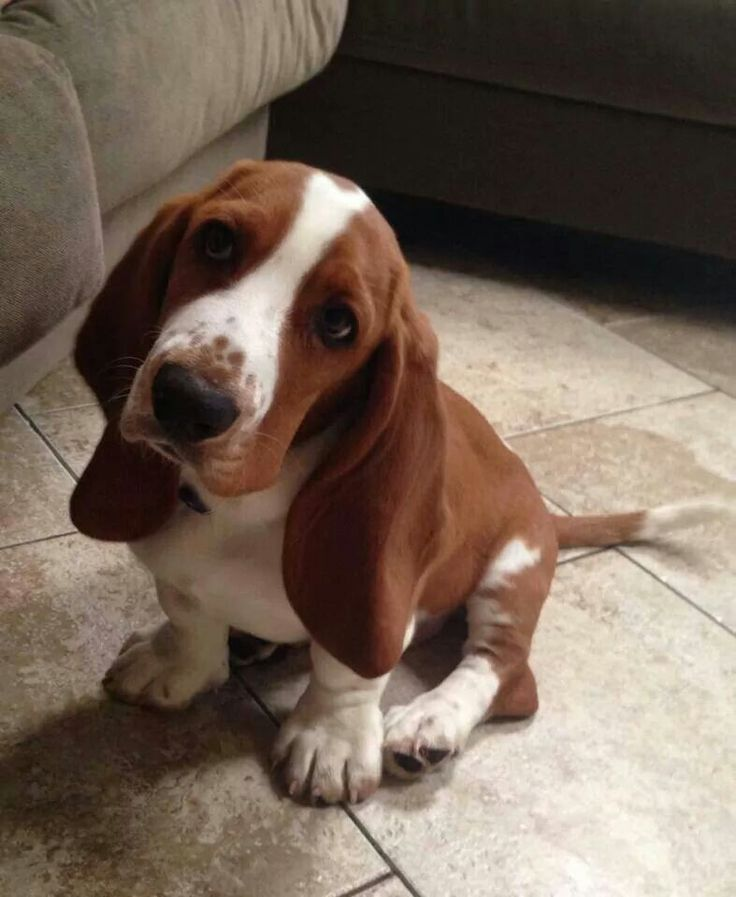I love Bassett Hound faces <3