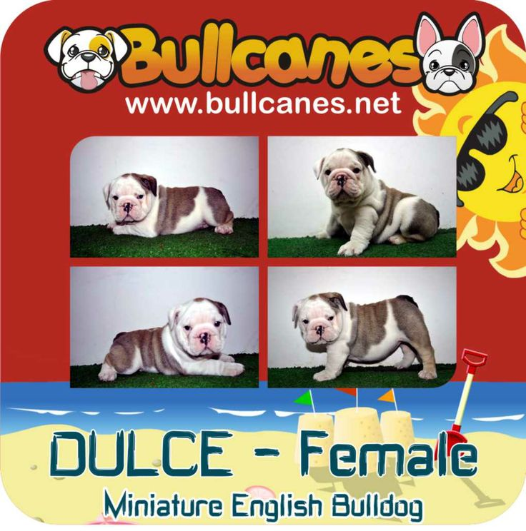 DULCE MINIATURE ENGLISH BULLDOG PUPPIES FOR SALE http://www.bullcanes.net / ceo@bullcanes.net / Facebook: bullcanes1@hotmail.com / instagram: @BULLCANES Bulldog puppies for Sale / Twiter: bullcanes1 / YouTube: Bullcanes Bulldog Kennel
