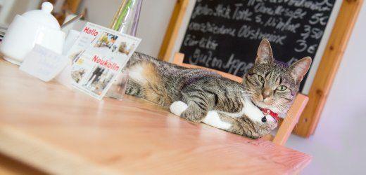 Katzencafés: Hier schnurrt der Chef noch selbst