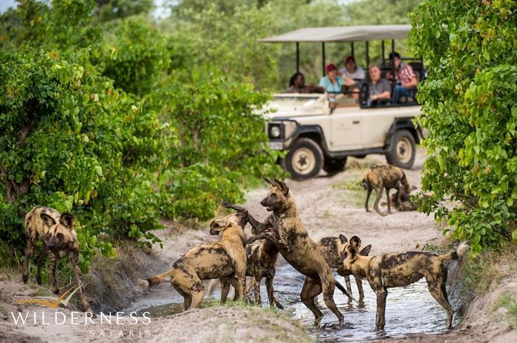 DumaTau - the LTC Pack providing another great sighting for guests. #Safari #Africa #Botswana #WildernessSafaris