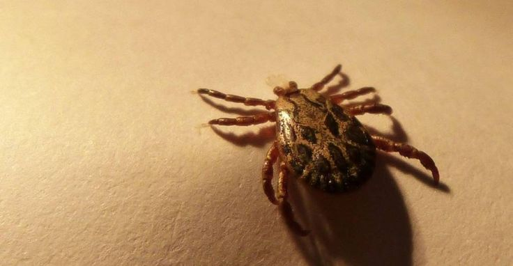 Lyme disease is a pretty horrifying infection that starts with everyone's favorite little arachnid: the tick. Lyme disease symptoms can range from little rashes to massive neurological disorders, and can even turn deadly if left untreated. But it all begins with a small bite from an infec...
