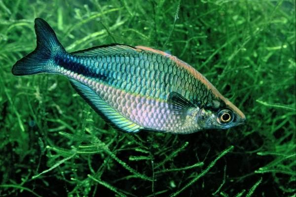17 best images about rainbow fish goby fish on pinterest for Turquoise rainbow fish