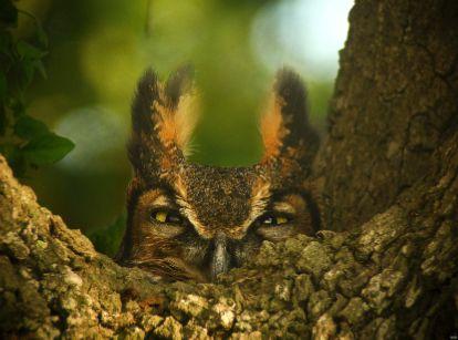 Female Great Horned Owl on her nest