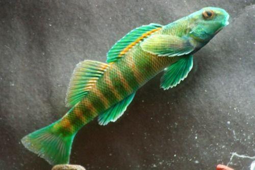 North american native fishtanks greenside darter for North american freshwater fish