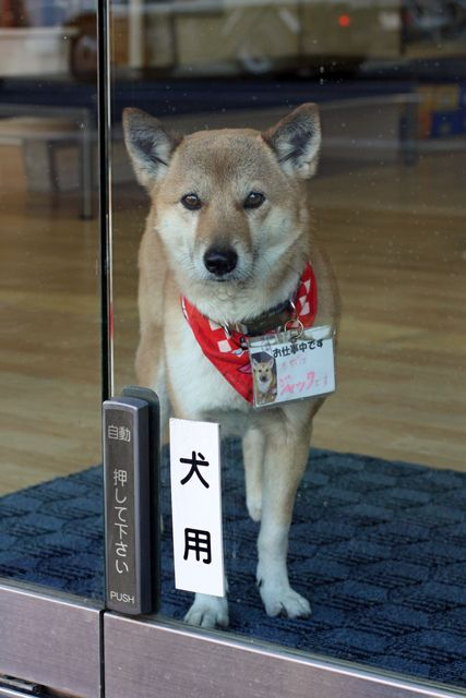 This Japanese dog is working. There is the dog button to open this glass door.