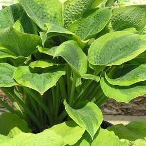 Garden Crossings Online Garden Center Offers A Large Selection Of Hosta  Plants. Shop Our Online Perennial Catalog Today!