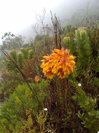 Mountain Dahlia see on the River Walk in the Silvermine Nature Reserve.