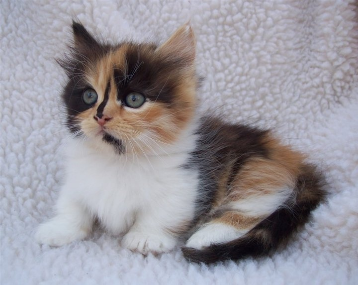 calico Munchkin | My Past Kittens | Pinterest | Long hair ...