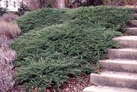 Sargent juniper is an outstanding choice for covering large amounts of ground on steep, sunny slopes.
