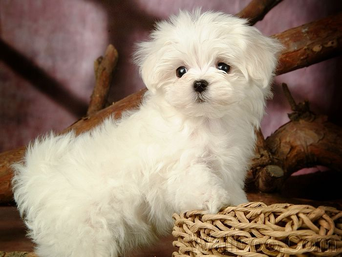 Cute Little White Puppies | ... white puppy dog 83255 desktop wallpapers 2 lovely white puppy dog