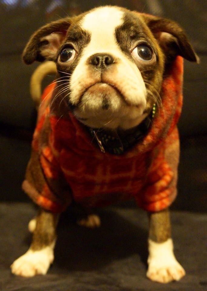 I love Buggs! Boston Terrier/Pug mix