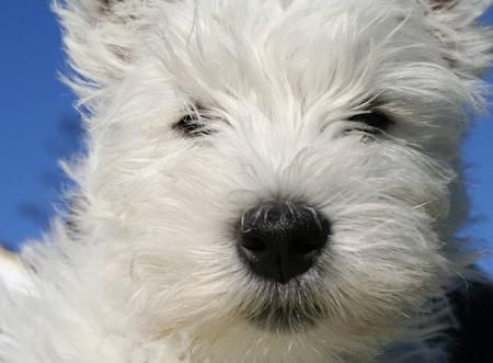 Archie the West Highland Terrier Pictures 8614