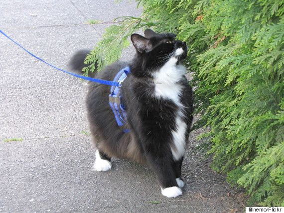 Benefits of Walking Your Cat On A Leash, And 4 Tips To Make It Easy  http://www.simplemost.com/benefits-of-walking-your-cat-on-a-leash-and-4-tips-to-make-it-easy/?utm_source=pinterest&utm_medium=referral&utm_campaign=organic
