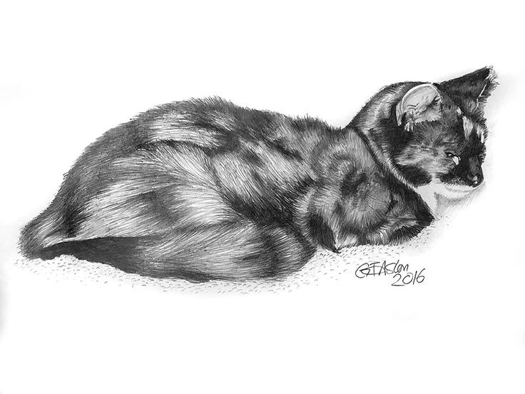 A pencil drawing of  tortoiseshell cat, done to be given as a Christmas present