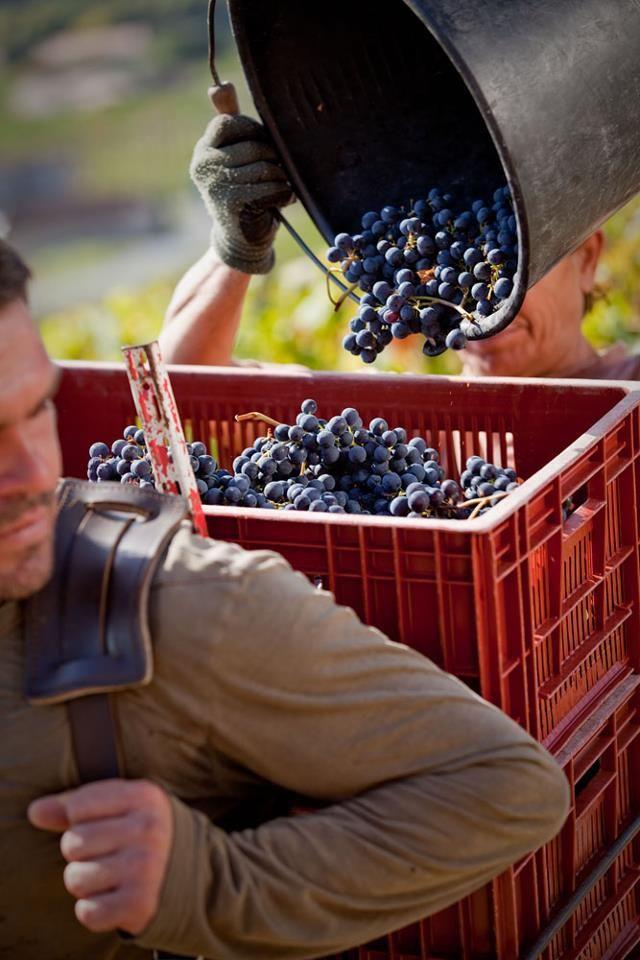 Harvest in Bordeaux