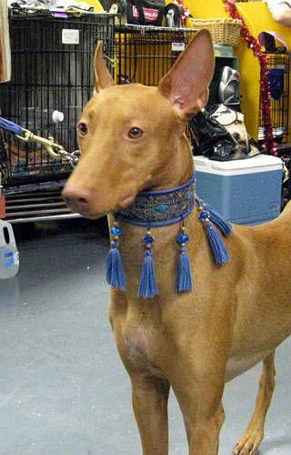 Pharaoh Hound. A sight hound. Would make an excellent running partner.