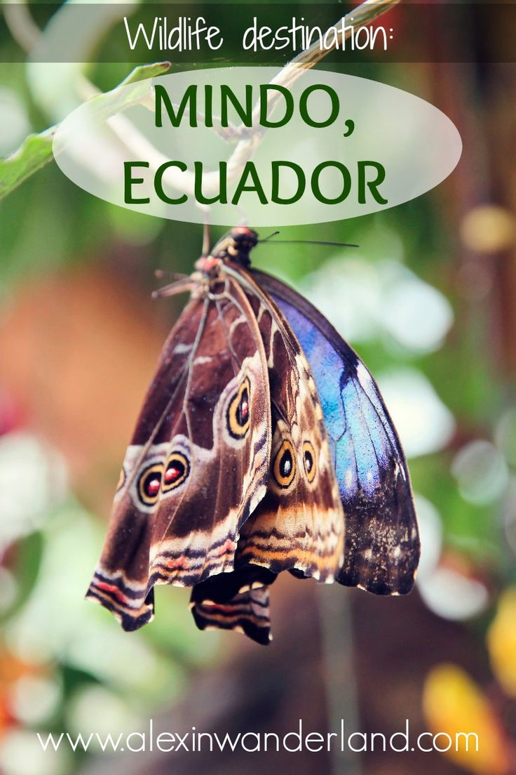 Hummingbirds, butterflies, orchids and more in magnetic Mindo, Ecuador | Alex in Wanderland #wildlife #travel