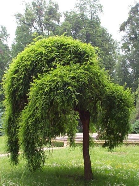 "Sophora japonica Pendula ""Weeping Japanese Pagoda""...fast growing shade tree with non-invasive roots."