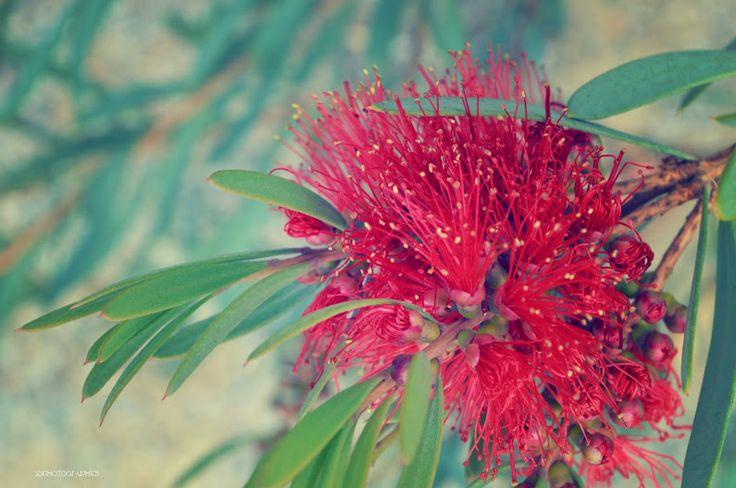 the red spray of a beautiful Autumn Bottlebrush flower.  #australia #autumn2017 #australianplants - Sian Ridden - Google+