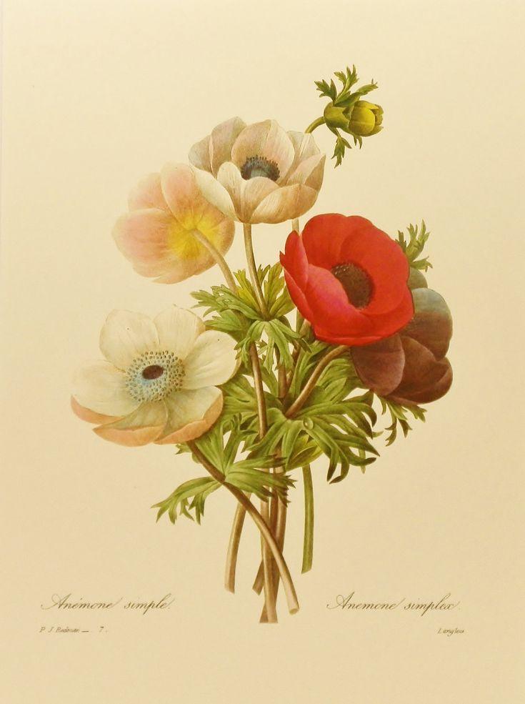Vintage Poppy Anemone, Home Office Decor, Colorful Redoute Flower Print, Botanical Illustration No. 7. $5.00, via Etsy.