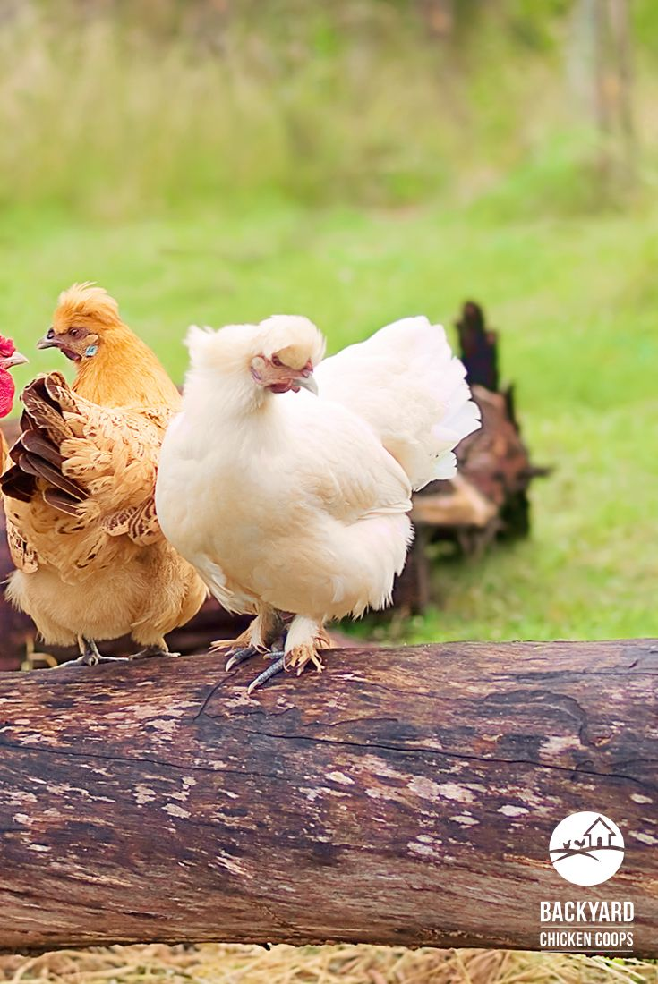 25 best sussex chickens images on pinterest backyard chickens