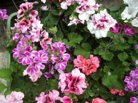 5 rad, co s muškáty, aby byly krásné až do podzimu