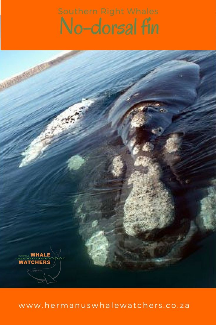 Southern Right Whales are characterized by their smooth backs.
