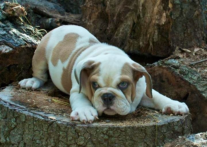 17 best images about english bulldogs on pinterest mini english bulldogs english and miniature. Black Bedroom Furniture Sets. Home Design Ideas