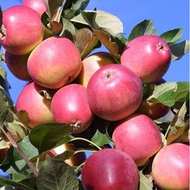 Äpple | Blomsterlandet.se