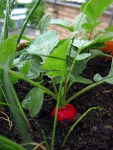 Ich habe mir vorgenommen, diesen Sommer für jedes Balkon-Gemüse, das sich bei mir bewährt hat, mal einen Artikel mit meinen Erfahrungen zu schreiben. Den Anfang macht das Einsteiger-Gemüse überhaup…