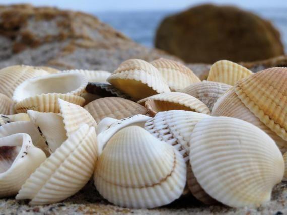 65 pcs Natural sea shells home decor Beach wedding Nautical