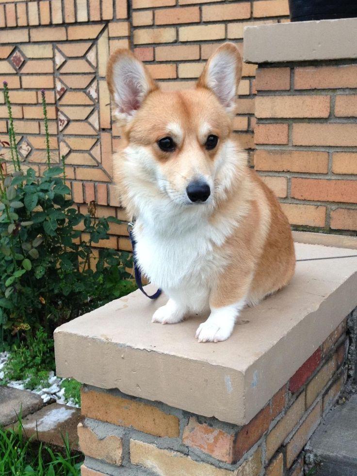 Image Result For Corgi Statues Corgis Corgi Corgi Dog Cute