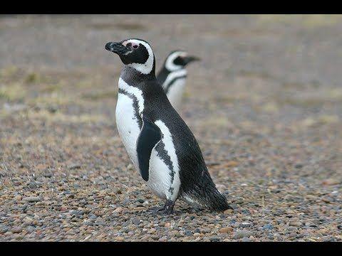 El Pinguino de Magallanes