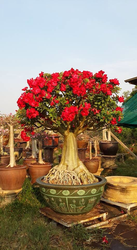 73 Best Images About Desert Rose On Pinterest