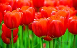 WALLPAPERS HD: Albany Tulip Festival