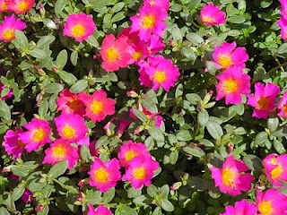 purslane- the one thing I can count on to add color in this Texas drought. (Dr. Oz says you can eat it)