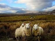 SHEEPScottish Sheep, Scottish Highlands, Favorite Places, National Geographic, Google Search, Beautiful Places, Bit Scotland, Animal, Scotland Sheep