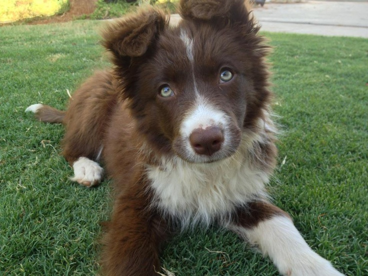 Pretty Chocolate border collie puppy Bundi Pinterest
