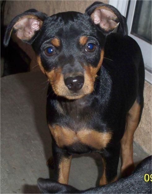 Breeds of small dogs : best small dog breeds: Miniature Pinscher toy dog Breed Standard
