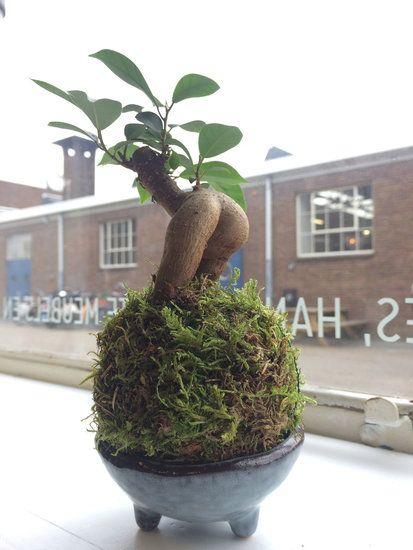 Ze noemen Kokedama's ook wel 'armeluis bonsai'. Niks armeluizigs aan wat ons betreft! Prachtige orchideeën, weelderige varens, stuk voor stuk schoonheden!