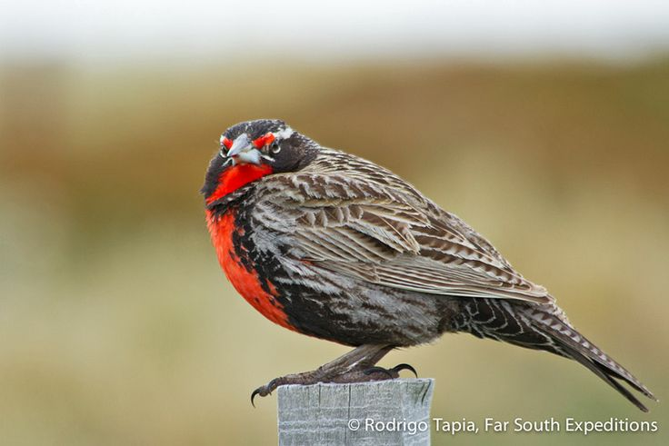 Perched on a fence post, a male Long-tailed Meadowlark, Sturnella loyca guards over his territory in a Patagonian grassland near Punta Arenas in Magallanes, Chile. The vivid red colour of the male's chest is one of the striking notes of Spring in most of the country, and their song is a well-known voice in the songbird assemblage in open habitats.  Read blog entry: http://bit.ly/RP3LYU  #Birding #Chile #Patagonia