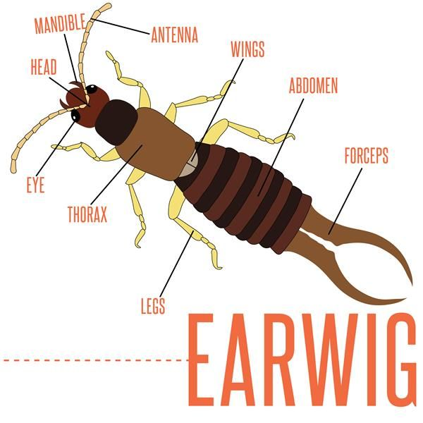 Earwig Diagram | home decors | Pinterest